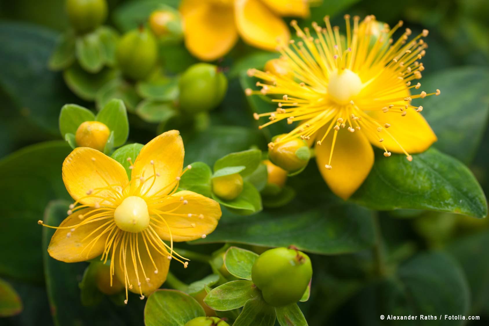 Johanniskraut wirkt anti-depressiv, krampflösend, desinfizierend. Bildnachweis: © Alexander Raths / Fotolia.com